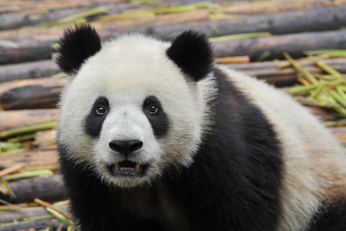 Google rolled out Panda 21 on Tuesday, and the latest algorithm update impacted about 1.1 percent of queries.