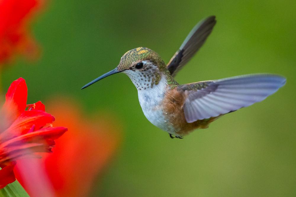 hummingbird algorithm